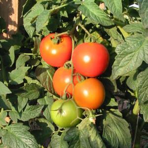 Tomato Varieties (Rutgers NJAES)