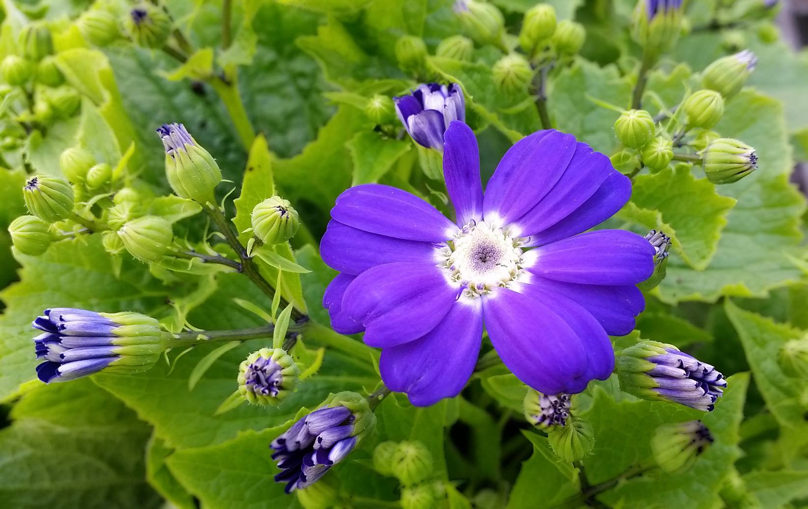 Easy Colour Annual Flowers Cineraria Blue Easy Colour