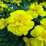 Marigold French Yellow