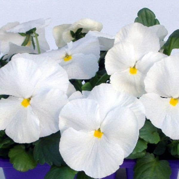 Pansy-Clear-White