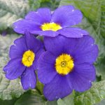 Primrose-Blue